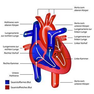 Der kleine Blutkreislauf des Menschen