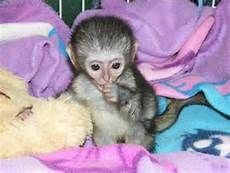 capuchin monkey for sale - Yahoo Image Search Results