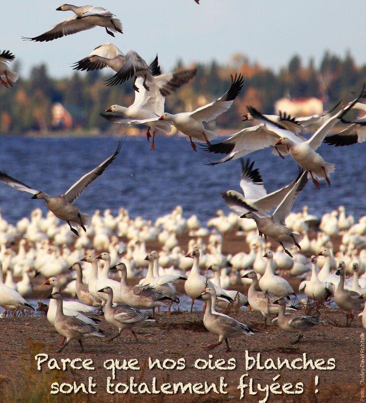 Raison #65 de visiter le Saguenay-Lac-Saint-Jean cet été :  Parce que nos oies blanches sont totalement flyées! #175raisons #QcOriginal