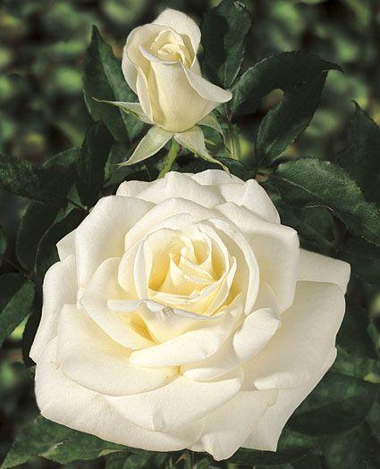 JP: John F. Kennedy (White Queen) - Greenish White Hybrid Tea Roses