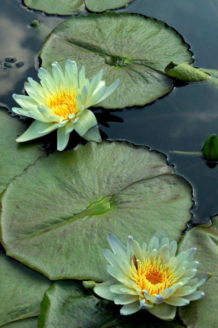 559 best lily pads blooms images on pinterest lotus blossoms ponds backyard koi ponds pond plants lily pond lotus flowers water lilies water gardens japanese watercolor flowers garden izmirmasajfo