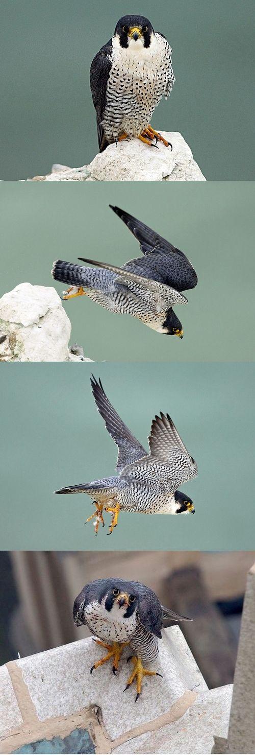 Peregrine Falcon (Falco peregrinus).  35–51 cm; male 425–1060 g, female 595–1600 g; wingspan 79–114 cm.