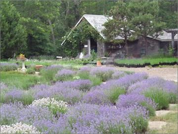 Stroll through the Cape Cod Lavender Farm's 12 secluded acres overlooking Island Pond in Harwich.