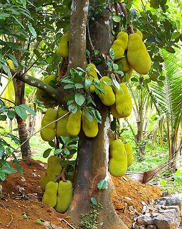 The Malaysia Project: Jackfruit:  is a species of tree in the Artocarpus genus of the mulberry family (Moraceae). It is native to parts of South and Southeast Asia, and is believed to have originated in the southwestern rain forests of India