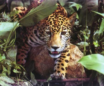 Cockscomb Basin Wildlife Sanctuary and Jaguar Preserve, Belize