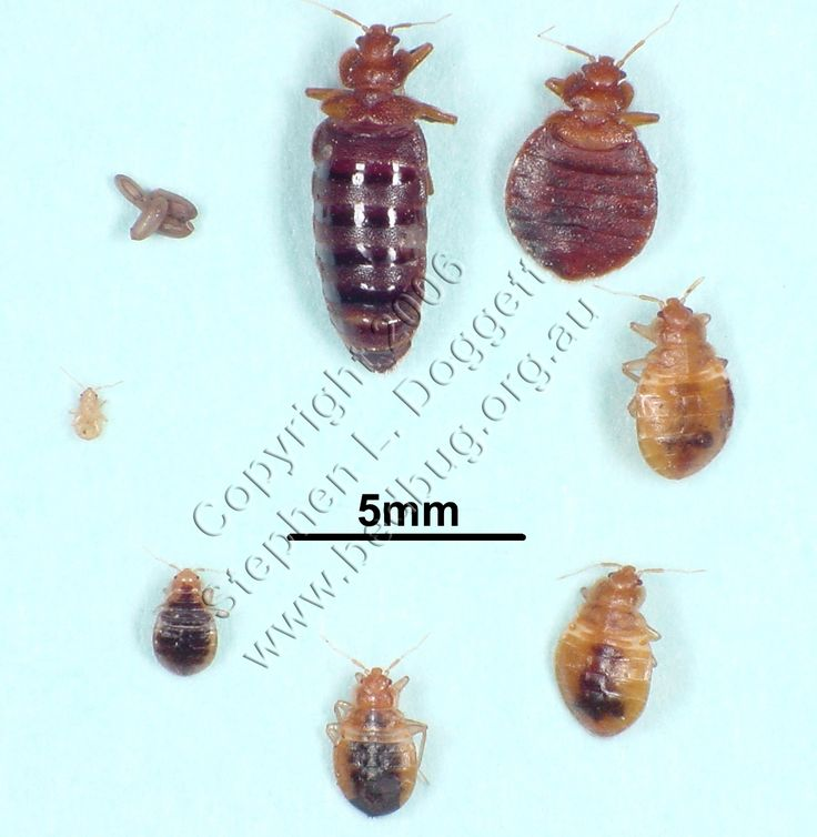 Stephen L. Doggett's bed bug life cycle photo
