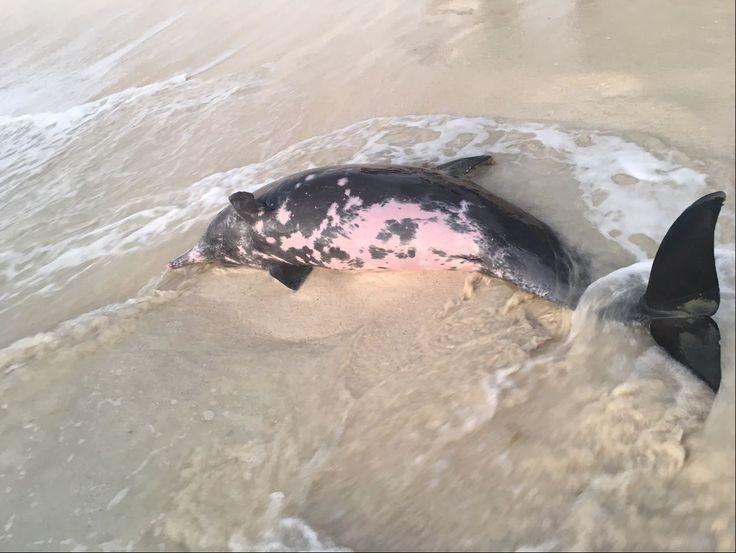 Fancy ANIMAUX Sauv s in extremis Plusieurs dauphins se sont chou s sur une plage de Cancun