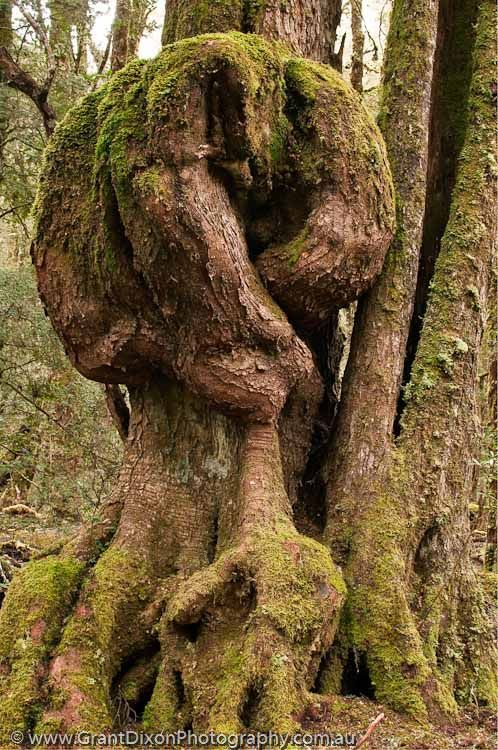 AUSTRALIA, Tasmania, Vale of Belvoir. Burl on trunk of Myrtle beech tree, temperate rainforest