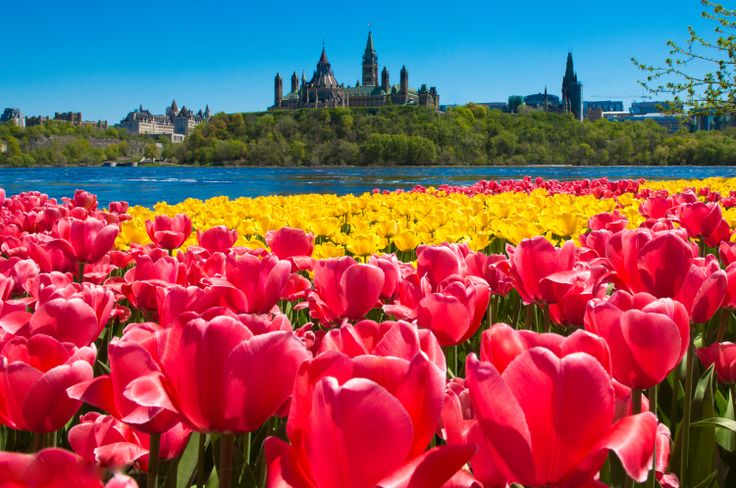 Tulips and Parliament Hill in Ottawa, Canada. Image by Neil Robertson. For more information on the Tulip Festival in May, visit www.ottawatourism.ca