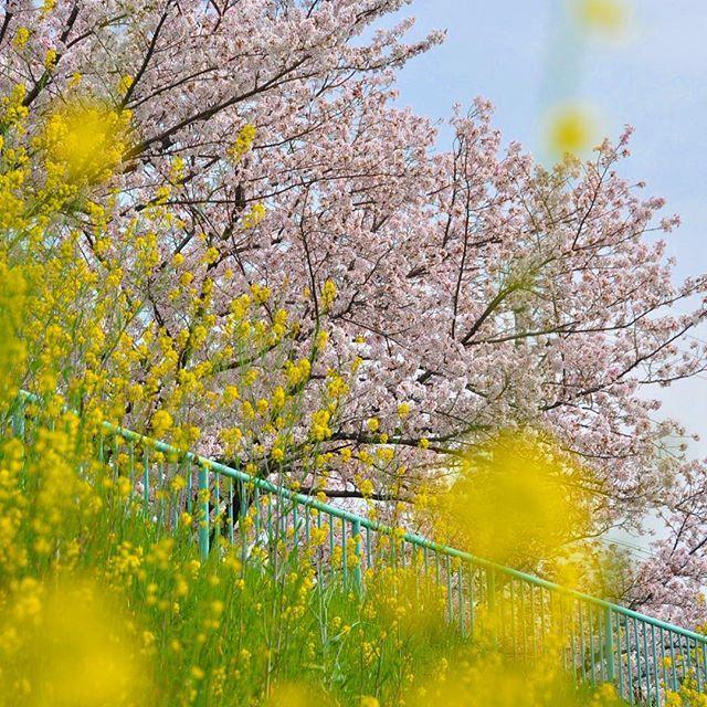 【kzy619】さんのInstagramをピンしています。 《. 『桜と菜の花のコラボ』 📍名古屋市 天白区 🗓 2011.04.11 . 最近、全然撮りに行けてないので6年前の(笑)過去picから。 まだまだ先ですが、桜の季節が楽しみですね〜。 その前に梅か💦 . #桜 #天白川 #菜の花 #写真好きな人と繋がりたい #写真好きな人と繋がりたい #d90 #d90nikon》