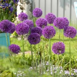 Czosnek okazały 'Purple Sensation' Allium alfatunense