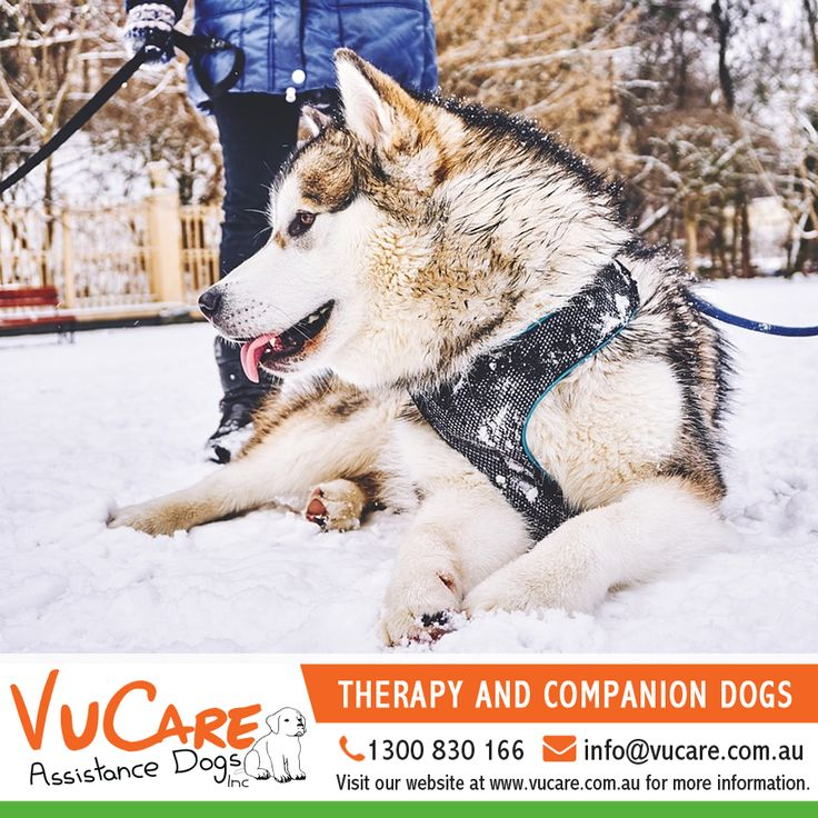 Our specialty trained dogs assist and support their owners with everyday tasks that are made difficult due to their disability. Each dog is taught tasks tailored to each individual clients needs, enabling that person to lead a fuller and more independent life.   #Dogs #Pets #VuCare #DogsAssistance #Dog #DogOnDuty #DogCare #ServiceDogs #DogsForDisabilities #AssistanceDogs #DogTraining #AssistanceDogProgram