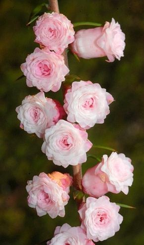 Common Garden Flowers Pink 27 best epacris images on pinterest | native plants, beautiful
