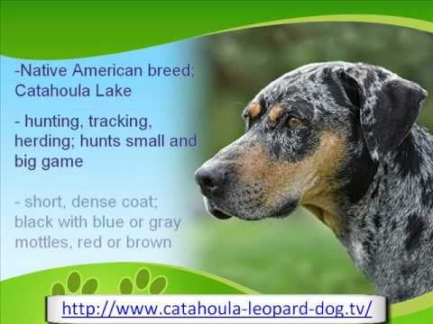 Watch this video for spotty dogs fact on the Catahoula Leopard dog.