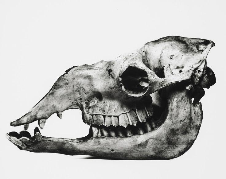 Camel skull by Irving Penn