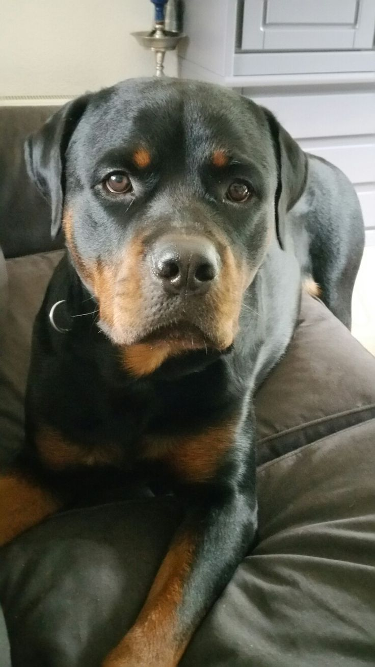 We love rottweilers  http://www.love-rottweilers.nl