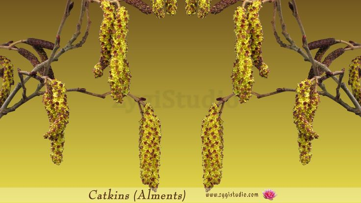 Time-lapse of growing aments (catkins) on a tree.