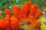 Ascidian -  Pyura - Sydney Harbour north Head