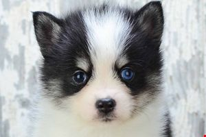 Pomsky Puppies for sale | Pomsky Breeder Ohio | Pomsky Pups