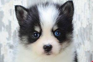 Pomsky Puppies for sale   Pomsky Breeder Ohio   Pomsky Pups