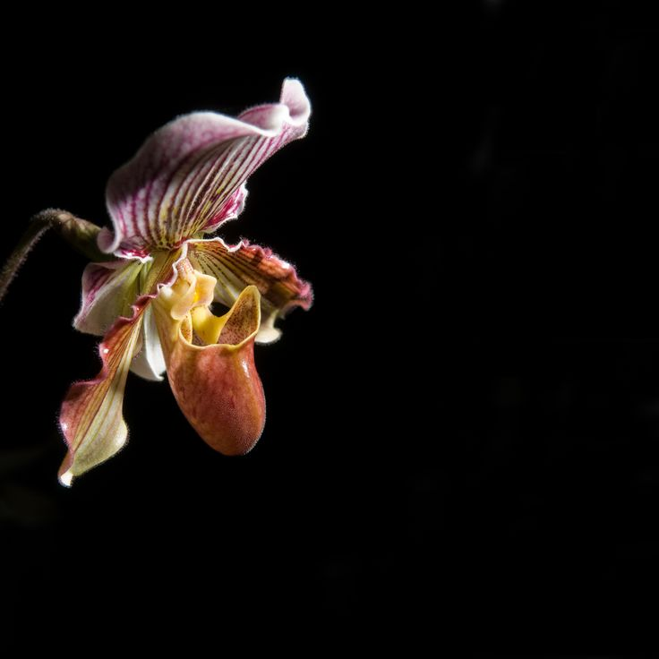 Paphiopedilum-lawrenceanum - See it at The Orchid Show www.chicagobotani...
