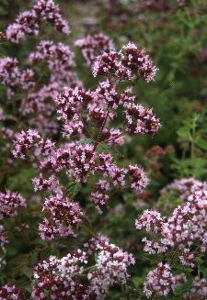Wilde Marjolein; zomerbloeier; inheems; volle zon; kalkhoudende, droge grond