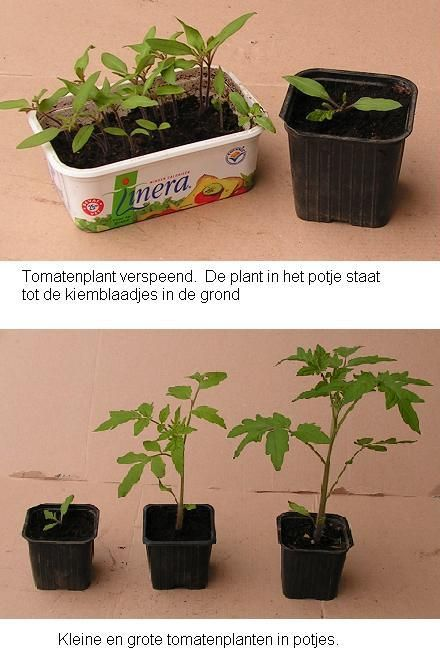 Tomaten kweken - tips