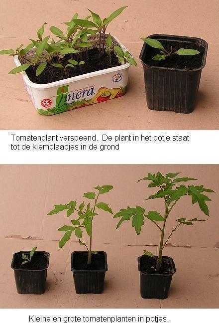 Tomaten kweken - tips