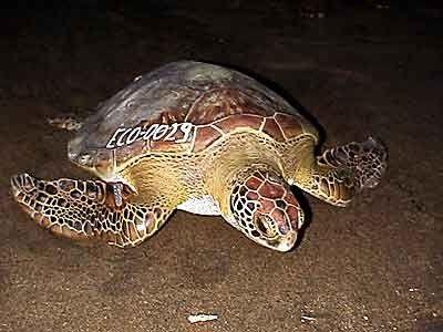 Ponte tortues - Costa Rica