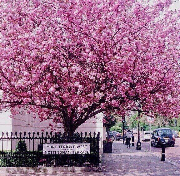 Its Cherry Blossom Season In London So Pretty Cherryblossoms Mothernature Nature Pretty Feminine Flowers Blossom Trees London Beautiful Tree