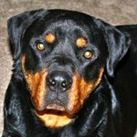 Rottweiler Rescue (@RescueRotties) on Twitter
