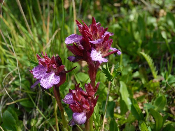 Orchis papilionacea. Madonie mountains, Sicily http://homemadesicily.com/en/activities/wild-orchids-itinerary/