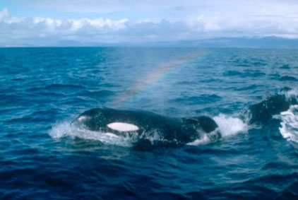www.pegasebuzz.com | Orca, orque, killer whale, black fish. Keiko.