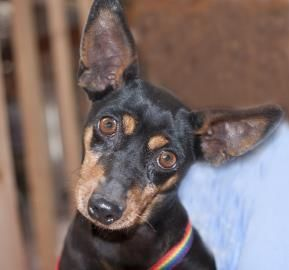 Petango.com – Meet Holiday, a 7 years 2 months Miniature Pinscher available for adoption in COLORADO SPRINGS, CO