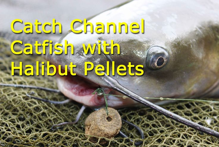 Dynamite Baits' 16mm marine halibut pellets are a great channel catfish bait. Fished on a hair rig, these pellets cast super far, are very durable and are great for heavily pressured catfish that are hook shy.   For more information on cat fishing baits and techniques check out http://catsandcarp.com/catfishing/catfishing-tactics/   To find Dynamite Bait products check out http://www.carppro-store.com/Dynamite-Baits-Carppro-Flavors-Carp-Flavor