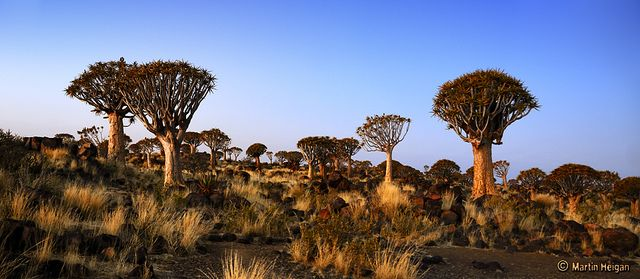 Quiver Tree Forest by Martin_Heigan, via Flickr