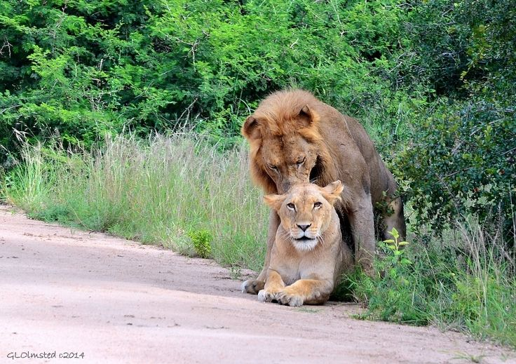 In honor of World Lion Day at Kruger National Park South Africa http://geogypsytraveler.com/2014/08/10/world-lion-day-2014/