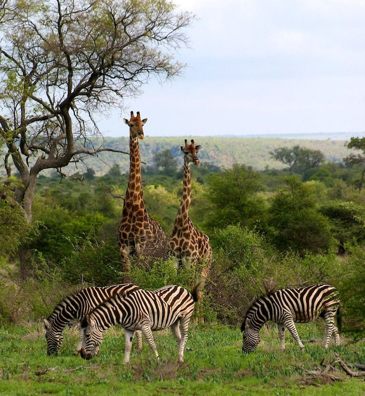 Giraffes and Zebras in Kruger National Park, South Africa.
