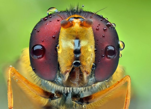 Water droplets on an insect's eyes.
