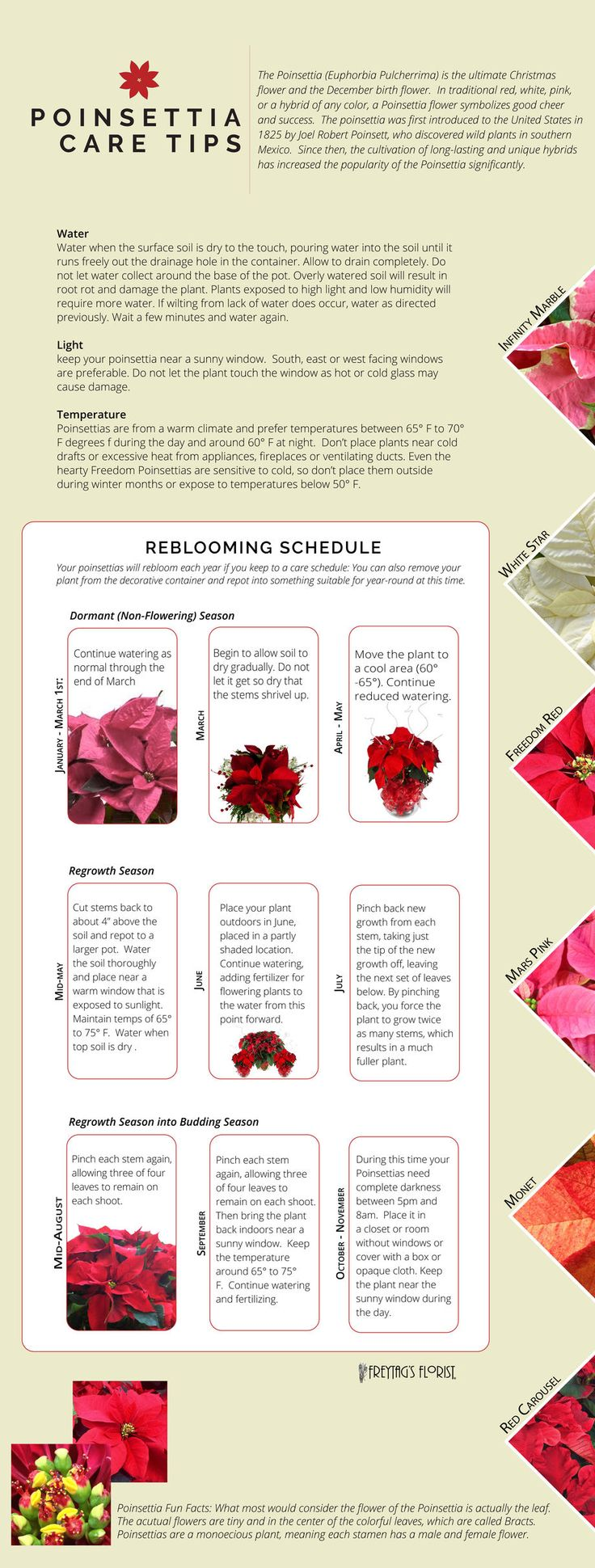 Poinsettia care & reblooming tips