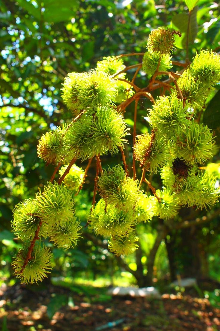 Rambutan tree | Tropical fruits/Fruit Trees | Pinterest
