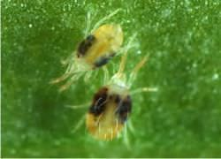 Как уничтожить паутинного клеща в теплице и на открытом грунте?