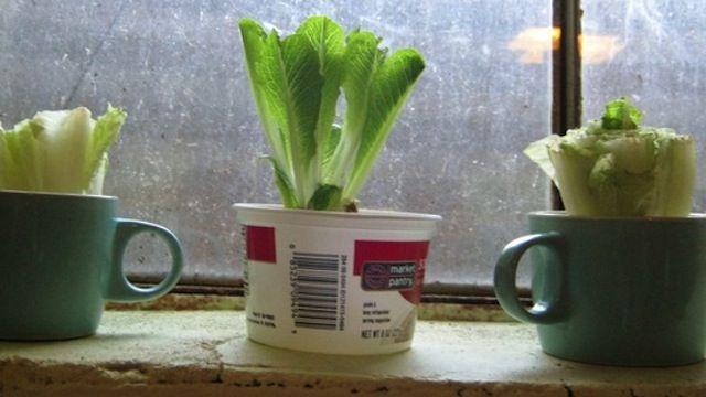 This picture is pretty gross but I like the idea!  Regrow Fresh Heads of Romaine Lettuce from Chopped Down Lettuce Hearts