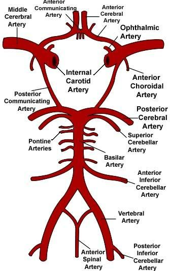 Circuito Vascular : Circle of willis us arteries pinterest anatomy and