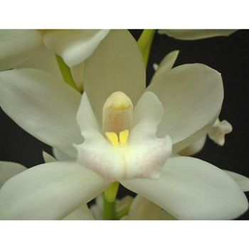 Mini Cymbidium Orchids Snow White