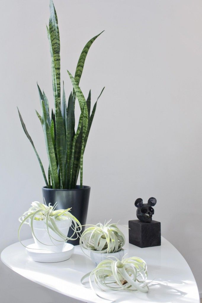 For å myke opp alt det stramme, omgir Celine seg med grønne planter. Svigermors tunge og Tillandsia xerographica står nydelig mot hverandre.