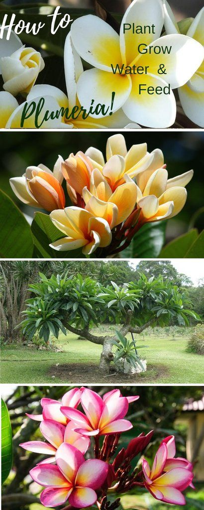 How to plant grow water and feed fragrant plumeria!