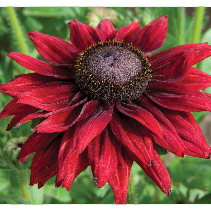 Rudbeckia hirta 'Cherry Brandy' (Garden Ready) - Perennial & Biennial Plants - Thompson & Morgan