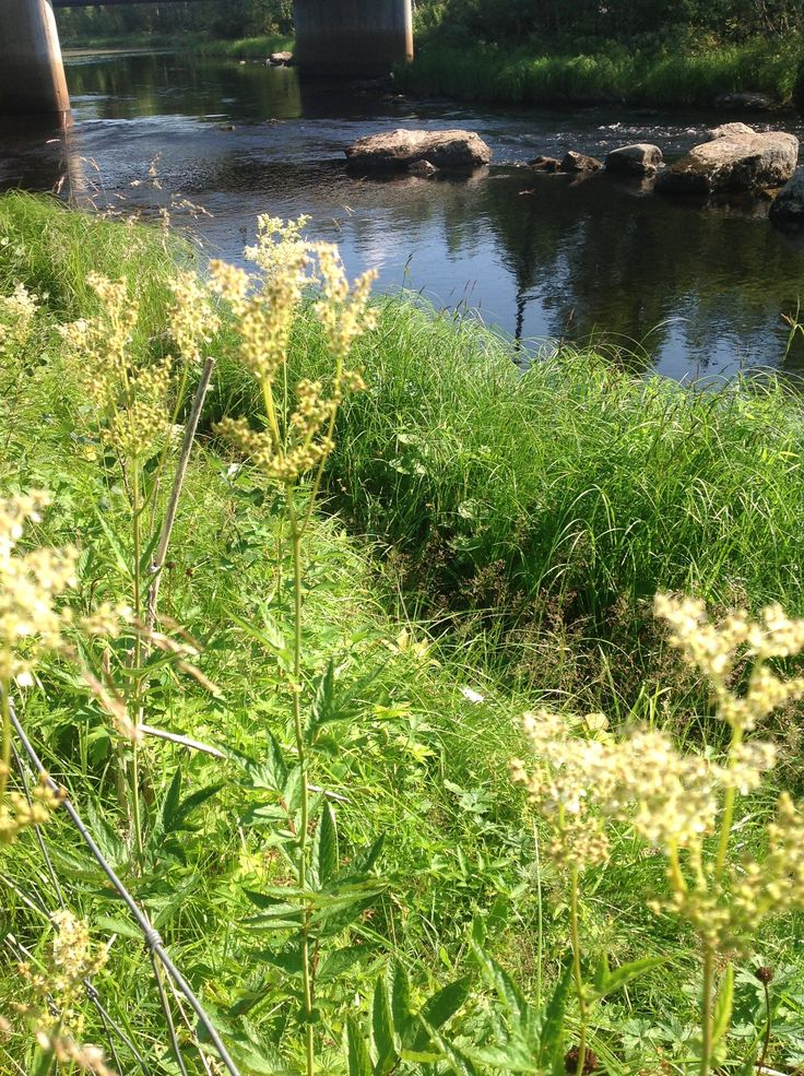 Summer flowers and a river in Lapland