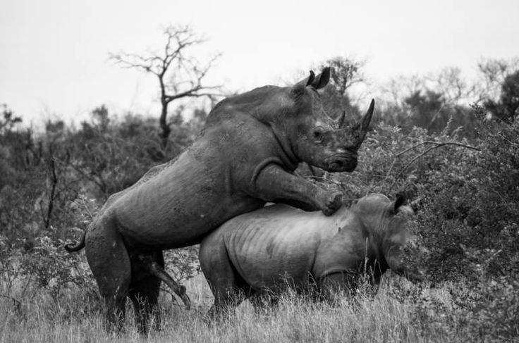 "Saatchi Art Artist David Rabie; Photography, ""Saving the Rhino III - Limited Edition 1 of 12"" #art"